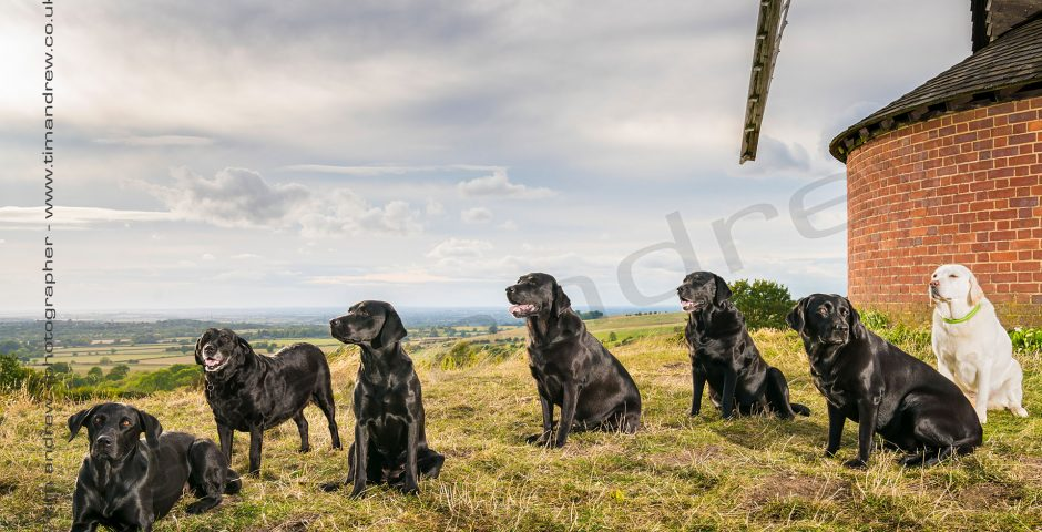 Labrador family at Brill Windmill